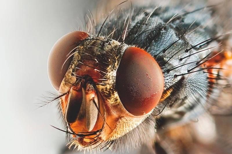 labios de mosca