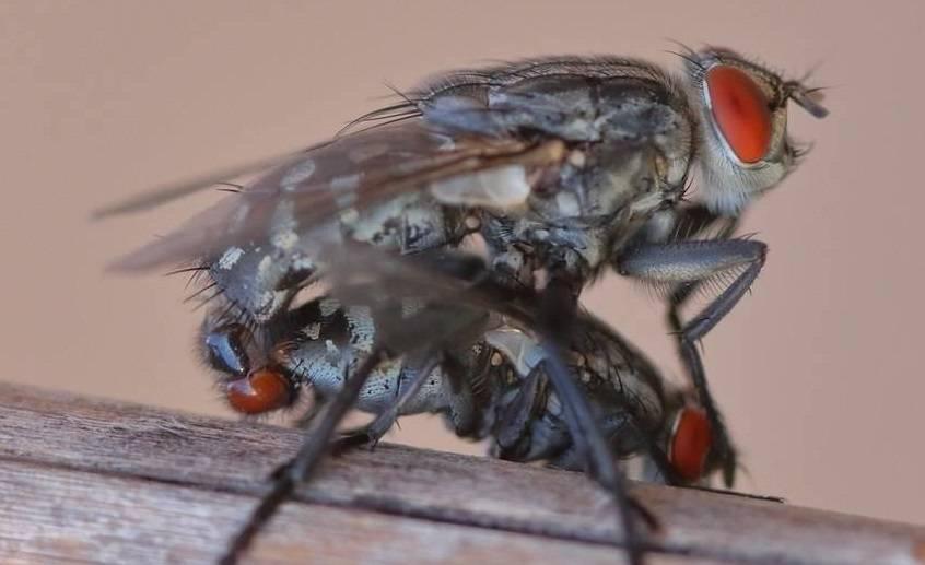moscas copulando